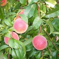 Choix des espèces fruitières