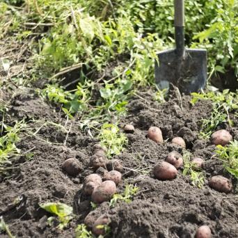 potatoes-2737945