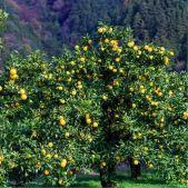 citronnier-yuzu-du-japon-bio-5