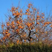 diospyros_kaki_costata_-_kakinoha_kostata_-_plaqueminier_-_fruits
