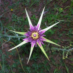 salsifi fleur